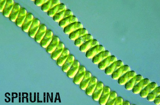 Spirulina Red Slime Under a Microscope